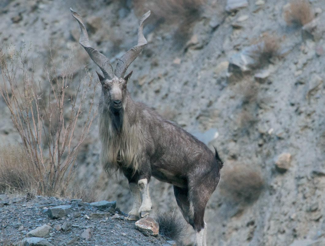 chasse markhor